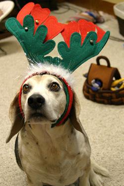 Reindeer Beagle